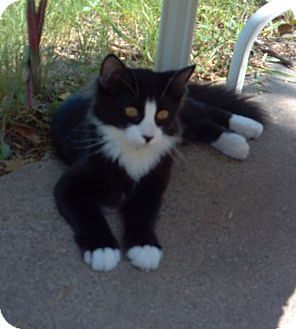 Domestic Longhair Cat for adoption in Mesquite, Texas - Prince Charming $15 Tuxedo Tue