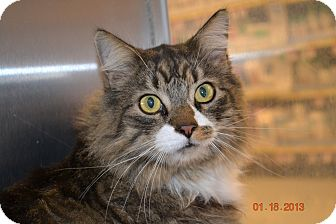 Maine Coon Cat for adoption in Gilbert, Arizona - Jasper