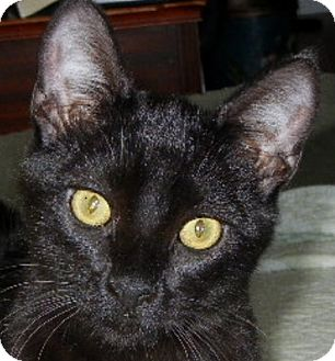 Domestic Shorthair Kitten for adoption in Winchester, California - Stacatto