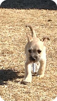 Schnauzer (Miniature)/Terrier (Unknown Type, Small) Mix Puppy for adoption in San Antonio, Texas - Lil Willy