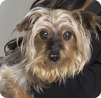 Yorkie, Yorkshire Terrier Mix Dog for adoption in Los Angeles, California - Marley