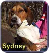 Foxhound Mix Dog for adoption in Aldie, Virginia - Sydney