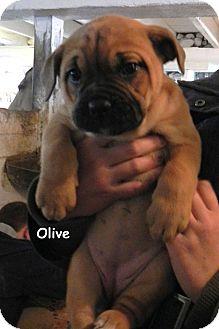English Bulldog/Presa Canario Mix Puppy for adoption in Woodstock, Ontario - Olive