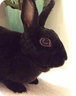 Mini Rex Mix for adoption in Auburn, California - Coco