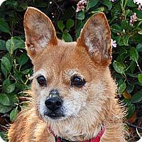 Chihuahua Mix Dog for adoption in San Jose, California - Sadie