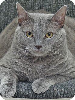 Domestic Shorthair Cat for adoption in Chambersburg, Pennsylvania - Smokey Mechu