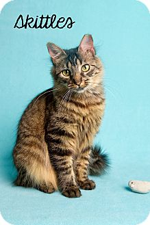 Domestic Mediumhair Cat for adoption in Friendswood, Texas - Skittles