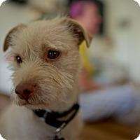 Adopt A Pet :: Mason- Sweet & Trained - Redondo Beach, CA