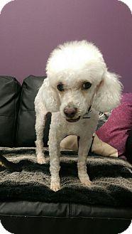 Poodle (Miniature) Mix Dog for adoption in Calgary, Alberta - WHISKEY