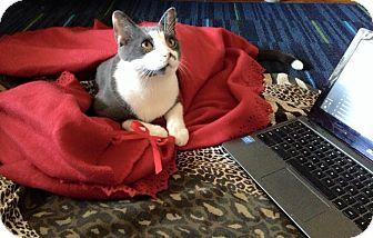 American Shorthair Cat for adoption in East Islip, New York - Prancer