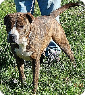 American Staffordshire Terrier/Boxer Mix Dog for adoption in West Sand Lake, New York - Roxy(60 lb) Loves Kids!