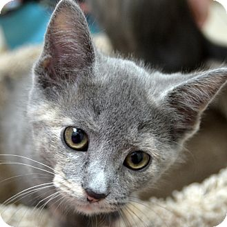 Domestic Shorthair Kitten for adoption in Wheaton, Illinois - Honey