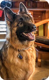 German Shepherd Dog Dog for adoption in Phoenix, Arizona - Chloe