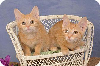 Domestic Shorthair Kitten for adoption in mishawaka, Indiana - Joann (on left)