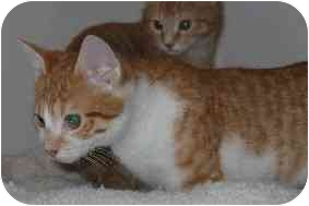 Domestic Shorthair Kitten for adoption in Peabody, Massachusetts - Jackson & Crispin