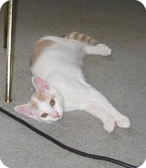 Domestic Shorthair Kitten for adoption in Kirkwood, Delaware - Nugget