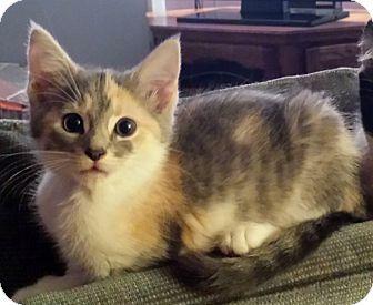 Calico Kitten for adoption in Kalamazoo, Michigan - Chickadee - Chelsea
