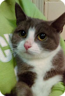 Domestic Shorthair Kitten for adoption in Brooklyn, New York - Ozzie