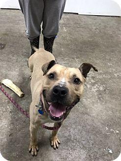 Pit Bull Terrier Mix Dog for adoption in Park Ridge, New Jersey - Duke