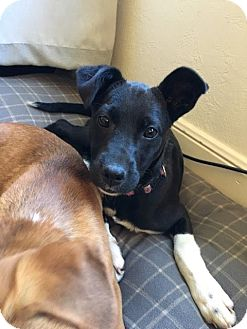 German Shepherd Dog/Australian Cattle Dog Mix Puppy for adoption in West Hartford, Connecticut - Sundae