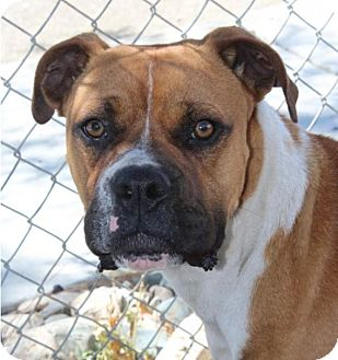 Boxer Mix Dog for adoption in Red Bluff, California - Butler