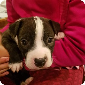 Boxer/Staffordshire Bull Terrier Mix Puppy for adoption in Hanover, Pennsylvania - Moonstone
