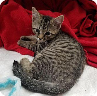 American Shorthair Kitten for adoption in Barrington, New Jersey - Alice