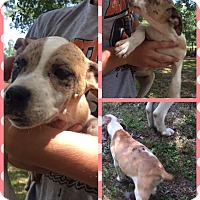 Adopt A Pet :: Freckles - Manchester, CT