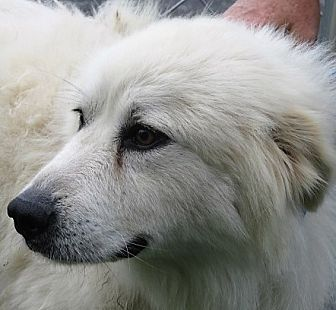 Great Pyrenees Mix Dog for adoption in Germantown, Maryland - Serenity