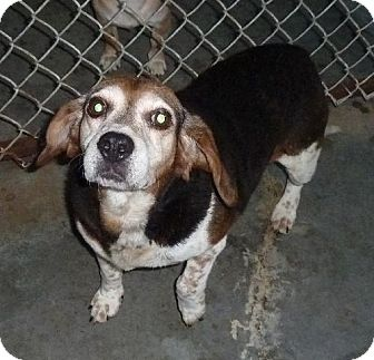 Beagle Dog for adoption in Ashland, Virginia - Hillary-ADOPTED!!!