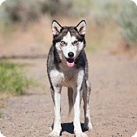 Adopt A Pet :: Willow - Washoe Valley, NV