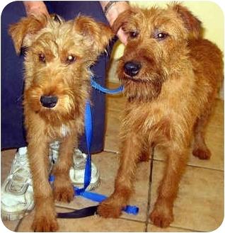 Irish Terrier Dog for adoption in Ardsley, New York - Florencesalina