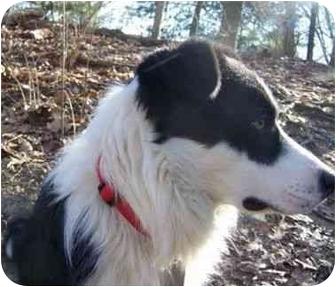 Border Collie Dog for adoption in Battleground, Indiana - Jackson