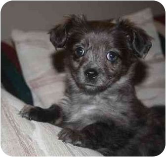 Terrier (Unknown Type, Medium)/Terrier (Unknown Type, Small) Mix Puppy for adoption in Chilliwack, British Columbia - AnneBelle