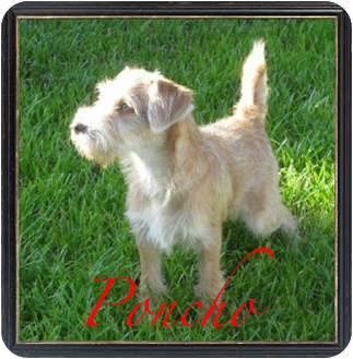 Wheaten Terrier Mix Dog for adoption in Orange, California - Poncho