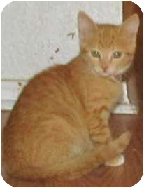 Domestic Shorthair Kitten for adoption in Muskogee, Oklahoma - angie