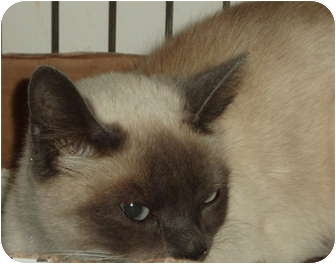 Siamese Cat for adoption in Westfield, Massachusetts - Cheeno