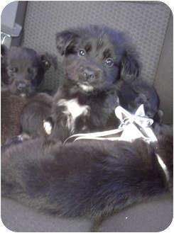 Border Collie/Labrador Retriever Mix Puppy for adoption in Baltimore, Maryland - 5 Puppies