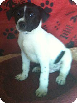 Catahoula Leopard Dog Mix Puppy for adoption in Hammond, Louisiana - Zorro