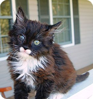 Domestic Longhair Kitten for adoption in Foster, Rhode Island - URGENT Ringgold