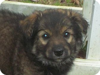 Great Pyrenees/Shepherd (Unknown Type) Mix Puppy for adoption in Parsippany, New Jersey - Jingle