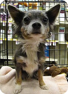 Chihuahua Dog for adoption in Gainesville, Florida - Blue