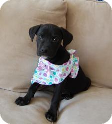 Labrador Retriever Mix Puppy for adoption in Marlton, New Jersey - Baby Anna 8-9 wks