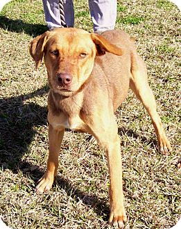 Shepherd (Unknown Type)/Hound (Unknown Type) Mix Dog for adoption in Leland, Mississippi - LUCY