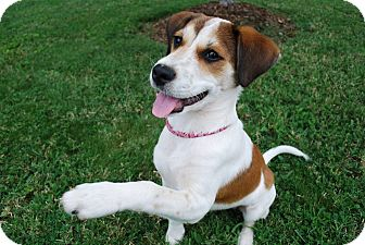Beagle Mix Puppy for adoption in Hagerstown, Maryland - Libby