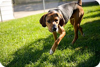 Coonhound/Foxhound Mix Dog for adoption in Buffalo, New York - Henry: Prison Training