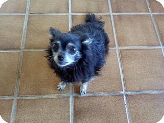 Chihuahua Mix Dog for adoption in Quentin, Pennsylvania - Lexi - Resident Angel