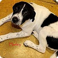 Adopt A Pet :: Harley - Silsbee, TX