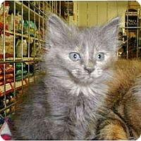 Adopt A Pet :: Kittens! - Proctor, MN