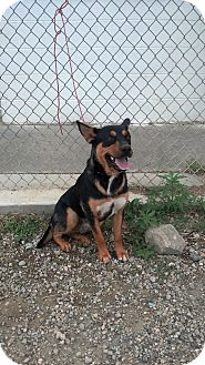Rottweiler/Hound (Unknown Type) Mix Dog for adoption in Raton, New Mexico - Zeus